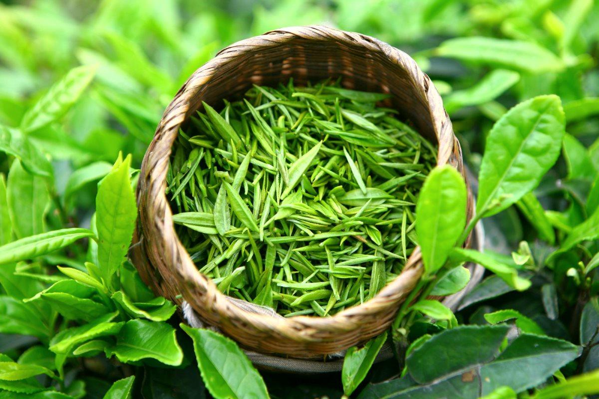 Зеленый чай можно использовать для лечения
